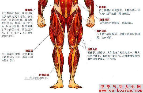 腿部肌群图解:腿部肌肉图示及英文名称介绍 - 张馨予 - 张馨予 的博客