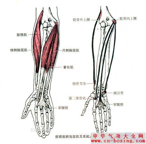 尺侧腕屈肌锻炼方法图解教程