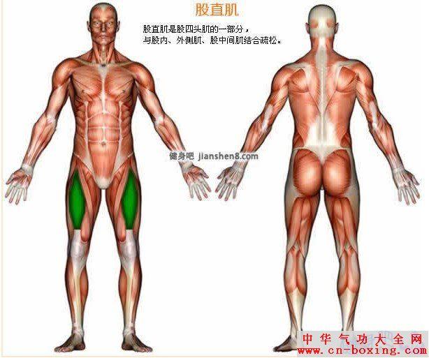 股直肌 - 股直肌部位图解及股直肌锻炼方法介绍