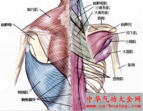 背部肌肉详解及锻炼背部肌肉的好处!